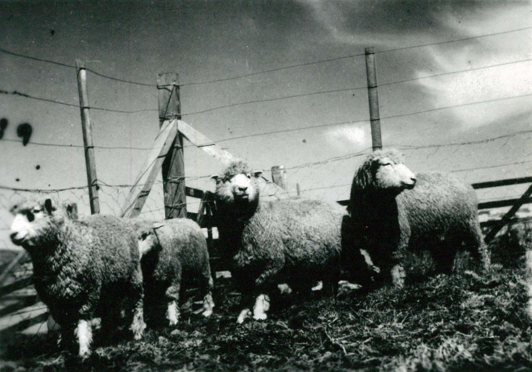Sheep imported from NZ 1940